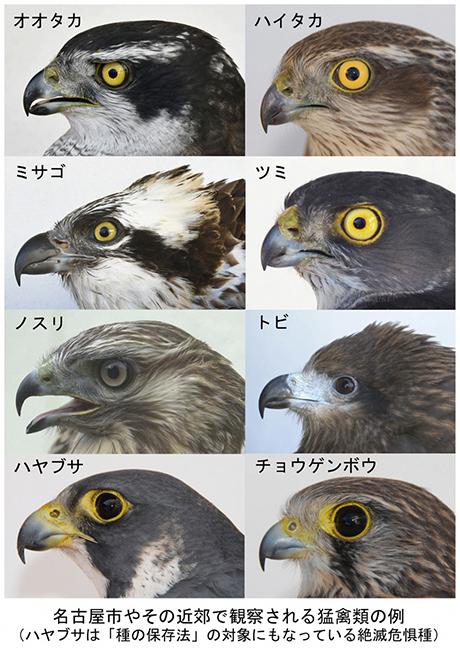 日本ワシタカ研究センター – なごや生物多様性センター なごや ...