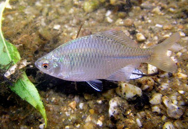 タイリクバラタナゴの写真