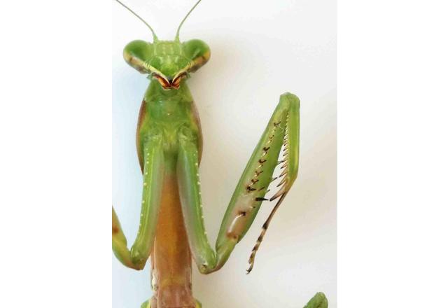 ムネアカハロビロカマキリの写真
