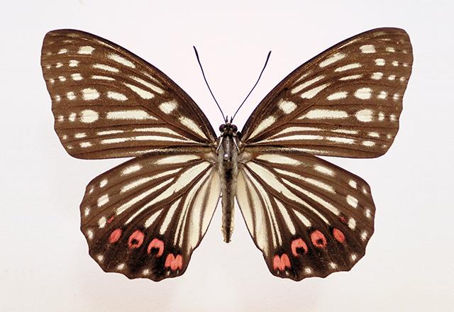 アカボシゴマダラ 名義タイプ亜種(大陸亜種)の写真
