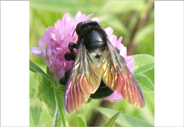 タイワンタケクマバチの写真