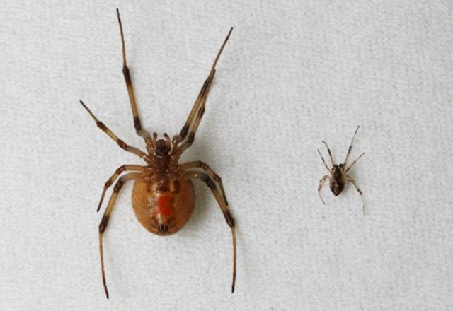 ハイイロゴケグモの写真