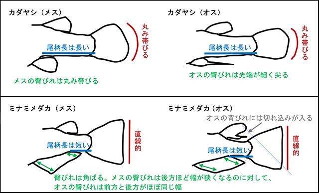 カダヤシ・メダカの違いのイラスト