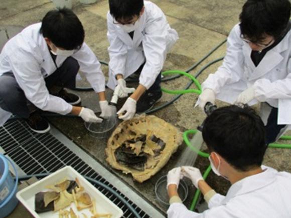 ワニガメの骨格標本